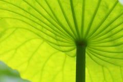 Het groene blad van Lotus Royalty-vrije Stock Foto's