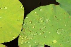 Het groene blad van Lotus met waterdaling Royalty-vrije Stock Afbeelding