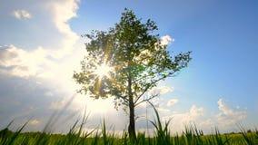 Het groene boom groeien alleen op gebied onder bewolkte hemel stock video
