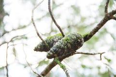 Het groene bos het mos van de korstmospaddestoel groeien op denneappels Stock Foto's