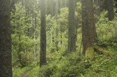 Het groene bos van de pijnboomboom in de bergen royalty-vrije stock afbeelding