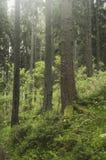 Het groene bos van de pijnboomboom met mist stock foto