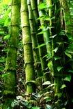 Het groene bos van het Bamboe Stock Afbeelding