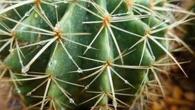 Het groene close-up van de cactusdoorn Stock Afbeeldingen