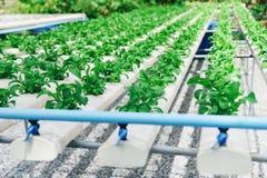 Het groene de moestuin van de slasalade groeien op hydroponic installaties van het systeemlandbouwbedrijf op water zonder grondla stock afbeelding