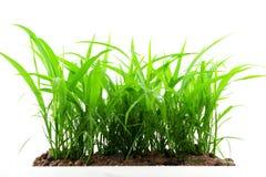Het groene die gras voortkomen uit de grond, op witte backgro wordt geïsoleerd Stock Foto's