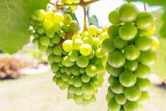 Het groene druiven hangen Royalty-vrije Stock Foto