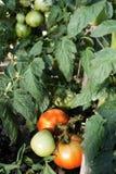 Het groene en rode tomaten groeien Stock Afbeelding
