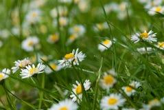 Het groene gebied van Daisy Royalty-vrije Stock Foto's