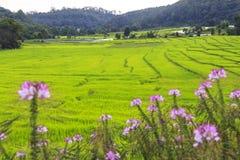 Het groene gebied van het rijstterras met roze bloemen in voorgrond Royalty-vrije Stock Foto's