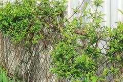 Het groene Gebladerte Groeien op een Metaalomheining Royalty-vrije Stock Afbeeldingen