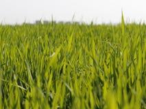 Het Groene Gewassengebied met witte achtergrond stock foto's