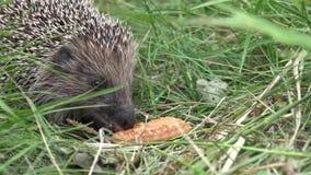 Het groene gras, egels eet koekjes De egel eet een koekje, close-up stock footage