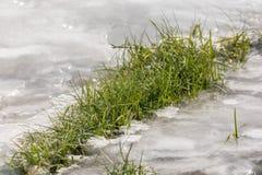 Het groene gras groeit door een dikke laag van ijs en overleeft de ruwe winter stock foto's
