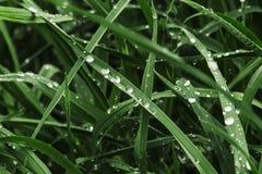 Het groene gras met dauw, sluit omhoog stock afbeelding
