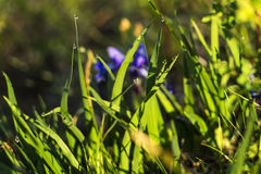 Het groene gras met dauwdalingen glanst in zonstralen Royalty-vrije Stock Afbeelding