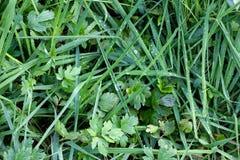 Het groene gras met water daalt dicht omhoog, achtergrondbladeren, aardbehang stock foto