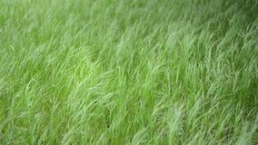 Het groene Gras Slingeren stock videobeelden