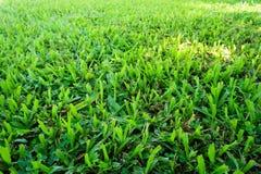 Het groene gras van Maleisië De fotografie op horizontale afmeting en toont textuur van een gebied royalty-vrije stock afbeeldingen