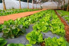 Het groene Groenten Groeien in het Landbouwbedrijf Stock Afbeelding