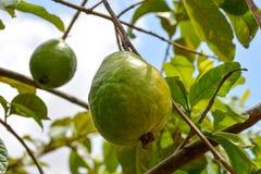 Het groene guavefruit hangen op boom in landbouwlandbouwbedrijf van Brazilië stock fotografie