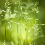 Het groene het gras van juni bloeien Stock Foto's