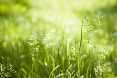 Het groene het gras van juni bloeien Stock Afbeeldingen
