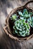 Het groene huis plant ingemaakt, succulents in een mand stock afbeeldingen