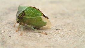 Het groene insect lopen stock videobeelden