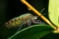 Het groene Insect van het Schild Royalty-vrije Stock Foto