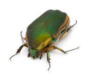 Het groene Insect van Juni Stock Fotografie
