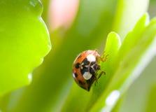 Het groene insect van Tanslucent Stock Foto