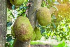 Het groene Jack fruitartocarpus heterophyllus hangen op brunchboom royalty-vrije stock foto's