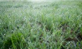 Het groene jonge gras in de dauw op een de lenteochtend, steekt schot aan royalty-vrije stock fotografie