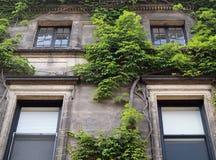 Het groene klimop groeien op een flatgebouw Royalty-vrije Stock Foto's