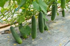Het groene komkommer groeien in gebiedsgroente voor het oogsten stock foto