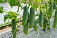 Het groene komkommer groeien in gebiedsgroente voor het oogsten royalty-vrije stock afbeelding
