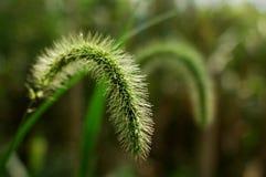 Het groene Kruid van het gras van het Varkenshaar stock afbeeldingen