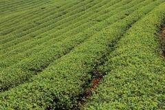 Het groene Landbouwbedrijf van de Thee Stock Afbeeldingen