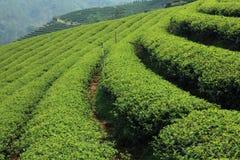 Het groene Landbouwbedrijf van de Thee Royalty-vrije Stock Afbeeldingen