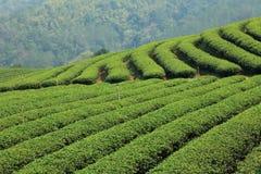 Het groene Landbouwbedrijf van de Thee Stock Foto