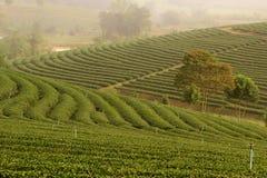 Het groene landschap van de theeaanplanting Stock Foto