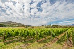 Het groene Landschap van de Wijngaard Stock Foto