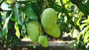 Het groene mango hangen, mangogebied, mangolandbouwbedrijf Landbouwconcept, Landbouw de industrieconcept stock footage