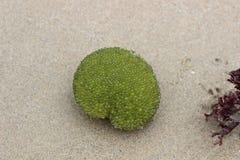 Het groene mariene de installatieleven van vlekalgen, de kust van Indische Oceaan in Zuid-Afrika Stock Foto