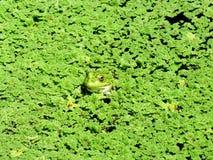 Het Groene Moeras stock afbeeldingen