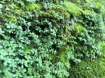 Het groene mos, aardbroek Royalty-vrije Stock Afbeelding