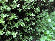 Het groene mos, aardbroek Stock Afbeelding
