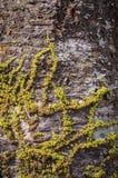 Het groene mos groeit op pijnboomboom Stock Afbeelding