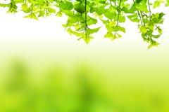 Het groene onduidelijke beeld van de bladerenmoerbeiboom Royalty-vrije Stock Foto's